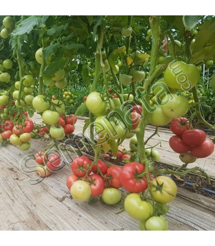 Розови домати Манистела (Manistella)