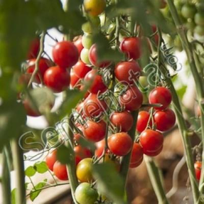 Чери домати Сакура (Sakura)