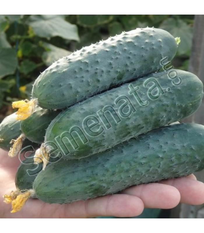 Семена корнишони Северин (Severin)